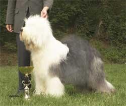 TOP Old English Sheepdog 2005